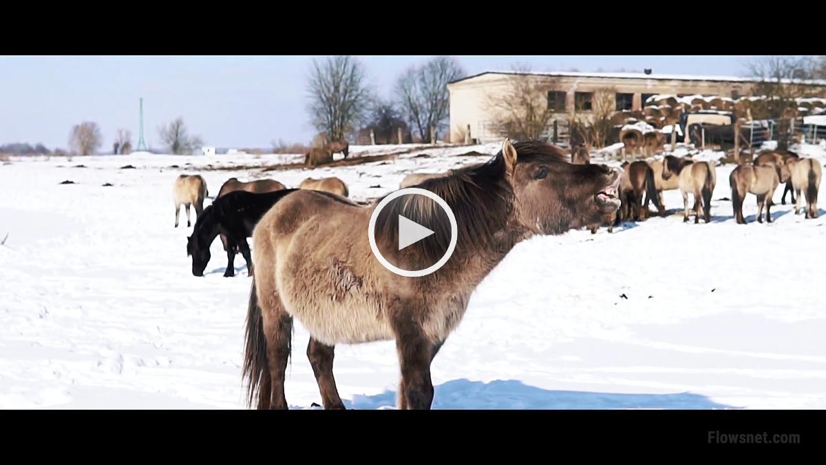 Savvaļas zirgi ziemā Pilssalā, Jelgavā